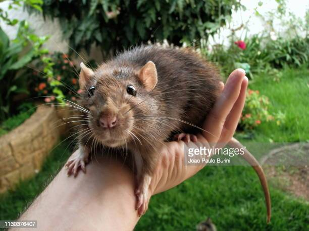 big pet rat on hand - ratazana stockfoto's en -beelden