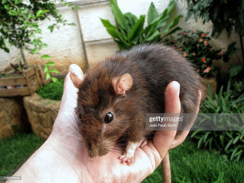Big pet rat on hand : Stock-Foto
