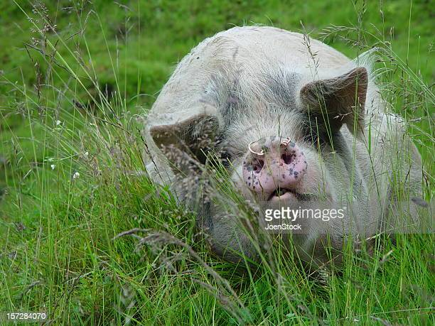 big pig male boar - ugly pig stock pictures, royalty-free photos & images