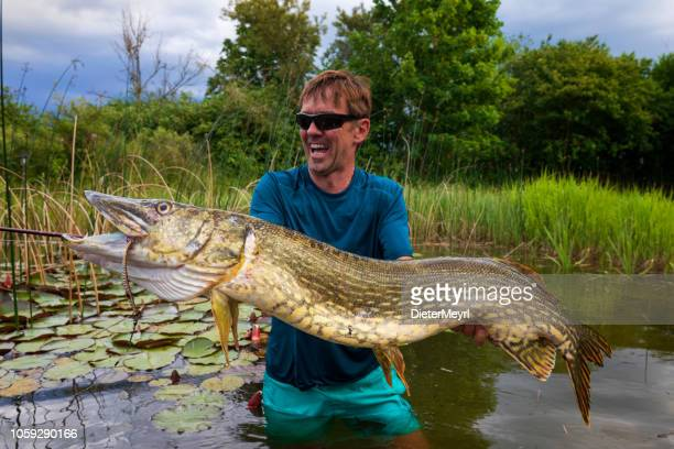 big pike catched - big fish stock pictures, royalty-free photos & images