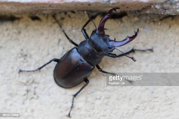 big pincers - beetles with pincers stock pictures, royalty-free photos & images