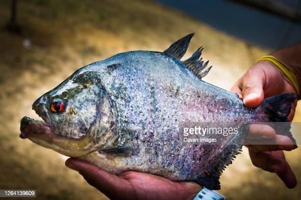 a big piranha still alive. - piranha stock pictures, royalty-free photos & images