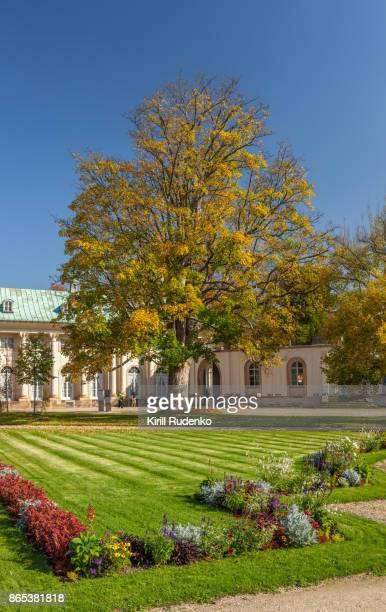 Big Platan tree in the yard of Pillnitz Castle