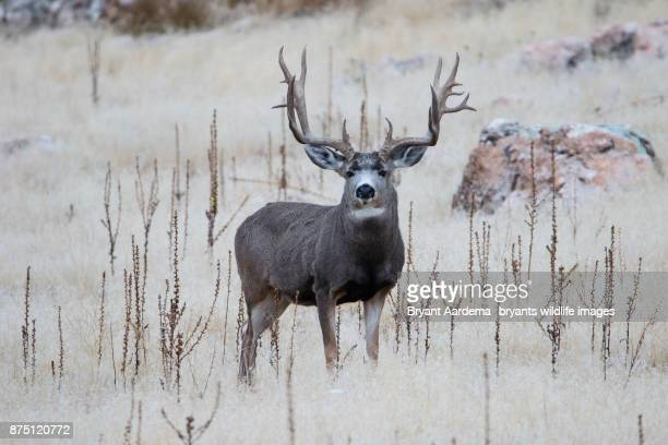 big rack - mule deer stock photos and pictures