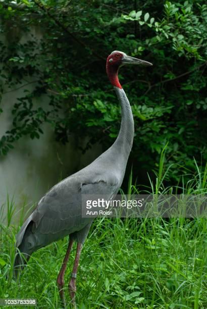 Big rare bird Sarus Crane, Grus antigone, with green grass in background, Zoo, Thailand.