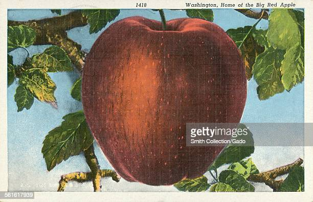 Big red apple growing on a tree with blue sky in background Washington State 1927