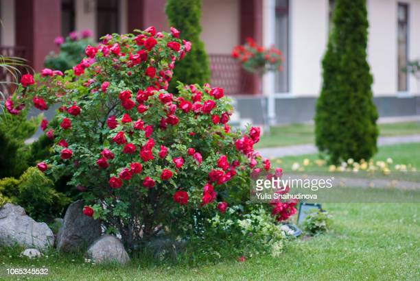 big red rose bush - bush stock pictures, royalty-free photos & images