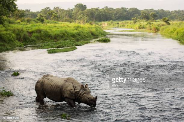 big rhino in a river in chitwan park, nepal - nepal stock pictures, royalty-free photos & images