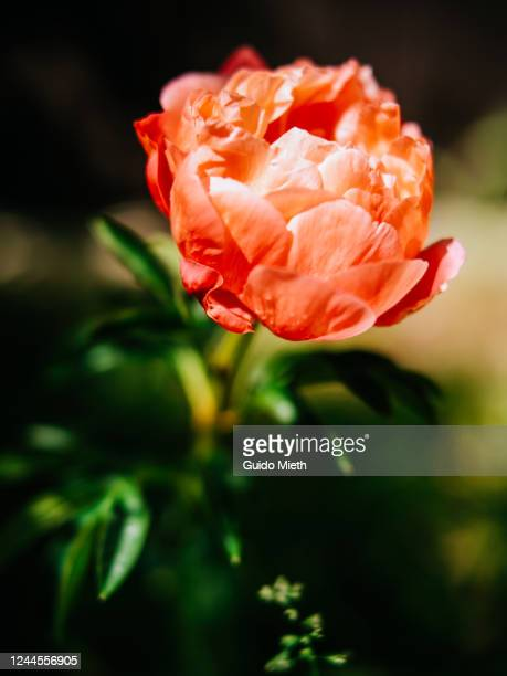 big rose in full blossom outdoor. - guido mieth stock pictures, royalty-free photos & images