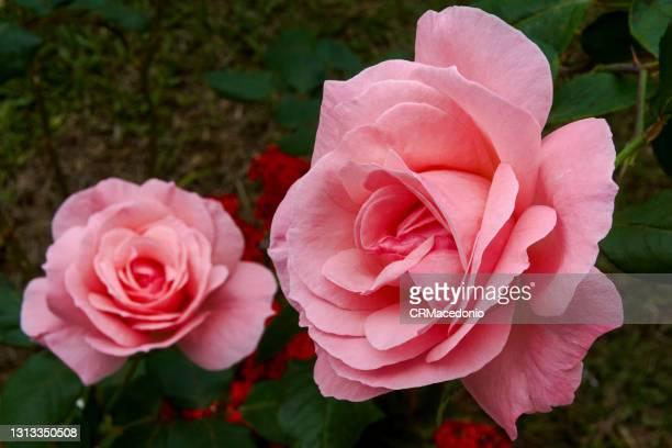 big rose - crmacedonio stock-fotos und bilder
