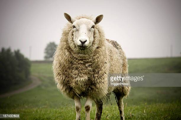 big sheep - sheep stock pictures, royalty-free photos & images