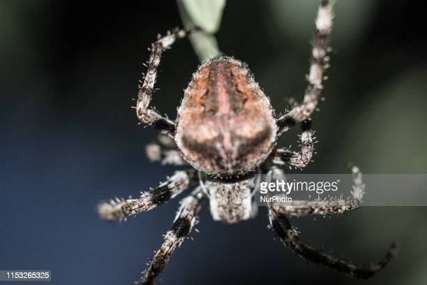 Big spider on an Olive tree in Rovies on the island of Euboea on June 30 2019