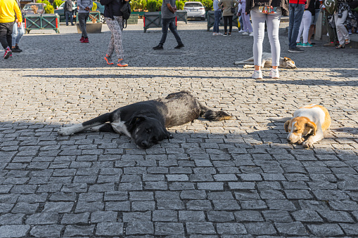 Big street dogs lie and rest freely on the streets in Tbilisi city in Georgia 1204424988