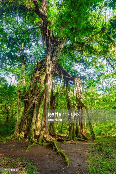 Big, strong yet old trees in the forest