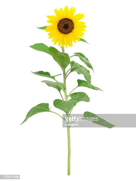 Big sunflower on a white background