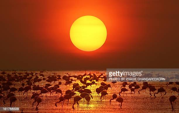 big sunset & flamingo - lake nakuru stock photos and pictures