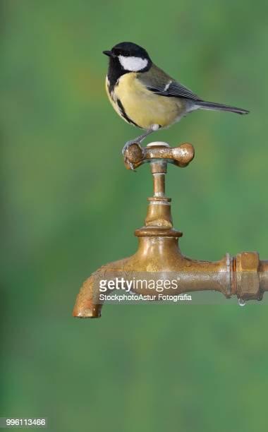 Big tit sitting on rusty faucet