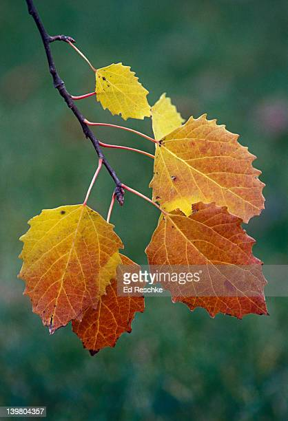 Big Tooth Aspen leaves in autumn color, Populus grandidentata, Michigan, USA