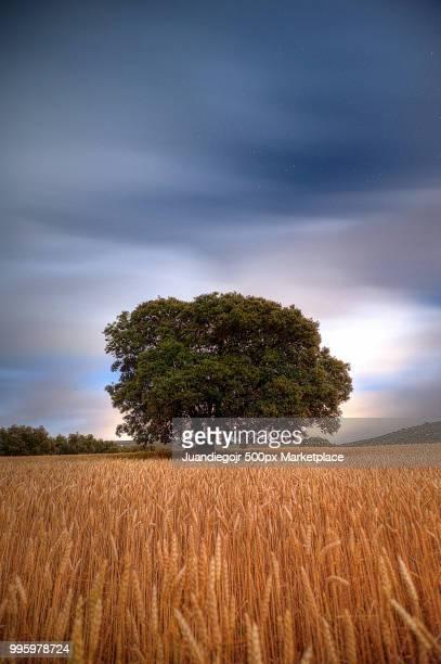 Big tree in a wheat field at night