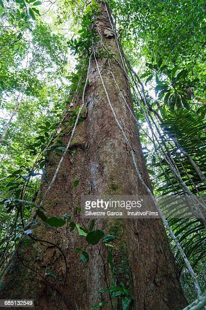 Big tree in amazon rainforest