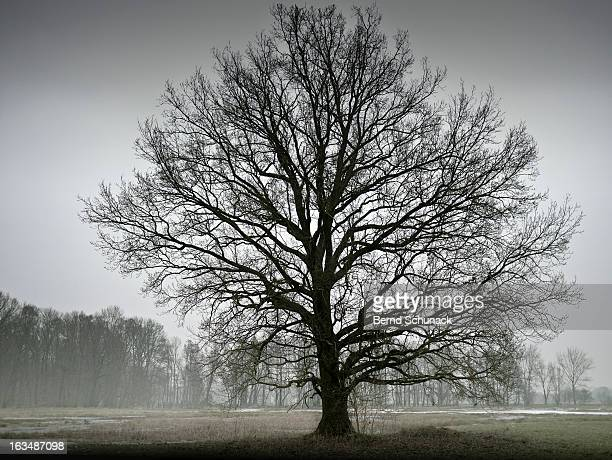 big tree in fog - bernd schunack foto e immagini stock