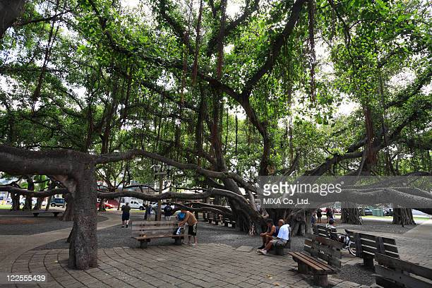 big tree in lahaina, maui, hawaii, u.s.a. - banyan tree stock pictures, royalty-free photos & images