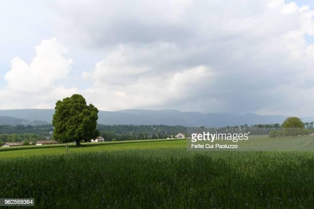 a big tree in the field at meienried, switzerland - bedeckter himmel stock-fotos und bilder