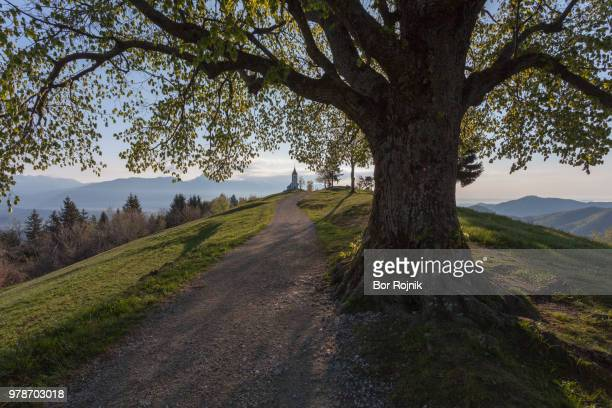 Big tree near footpath on mountain leading to Church of Saints Primus and Felician, Jamnik, Kranj, Upper Carniola, Slovenia