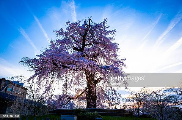Big tree of weeping cherry blossom