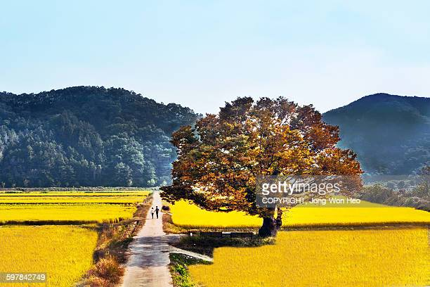 A big tree on the yellow rice field