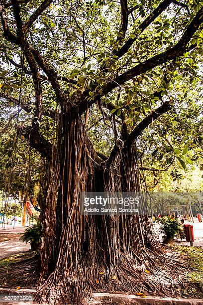 Big Tree Park in Interior Jaqueira in the neighbor