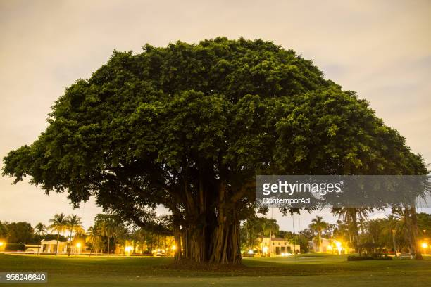 big tree - large stock pictures, royalty-free photos & images