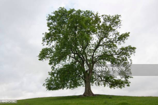 a big tree under dramatic sky - branch stock pictures, royalty-free photos & images