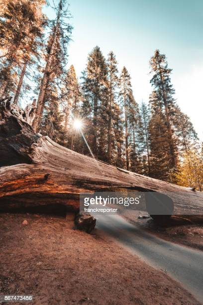 big trees in the sequoia national park