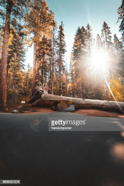 big trees in the sequoia national park - fallen tree stock pictures, royalty-free photos & images