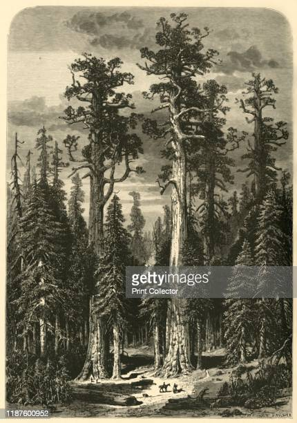 Big Trees Mariposa Grove' 1872 Giant Sequoias in Yosemite National Park Wawona California USA From Picturesque America or The Land We Live In A...