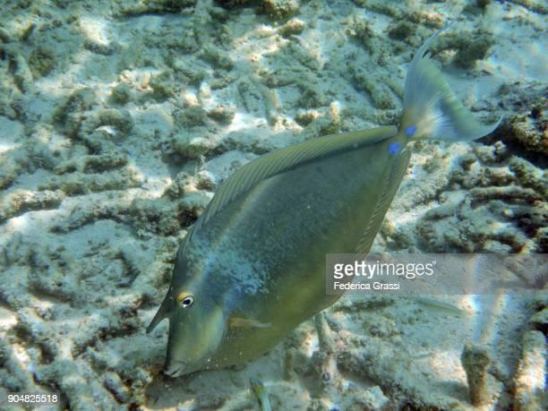 Big Unicornfish On Bleached Coral