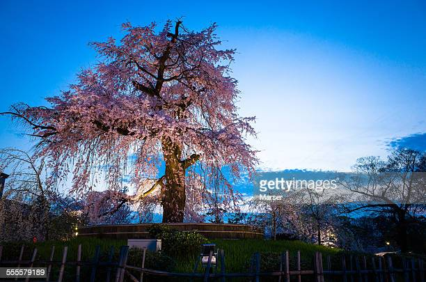 Big weeping cherry tree in the evening