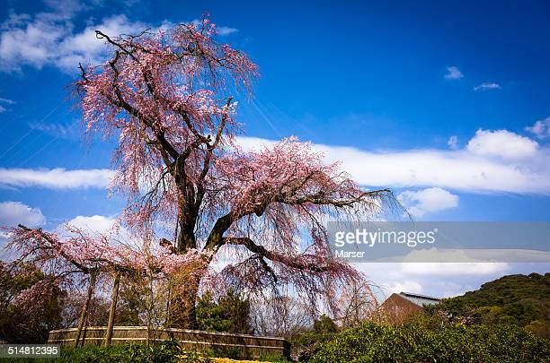Big weeping cherry tree