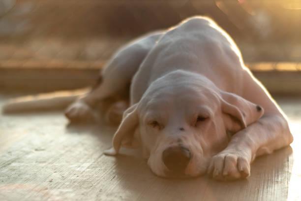 Big white dog sleeping during a sunset