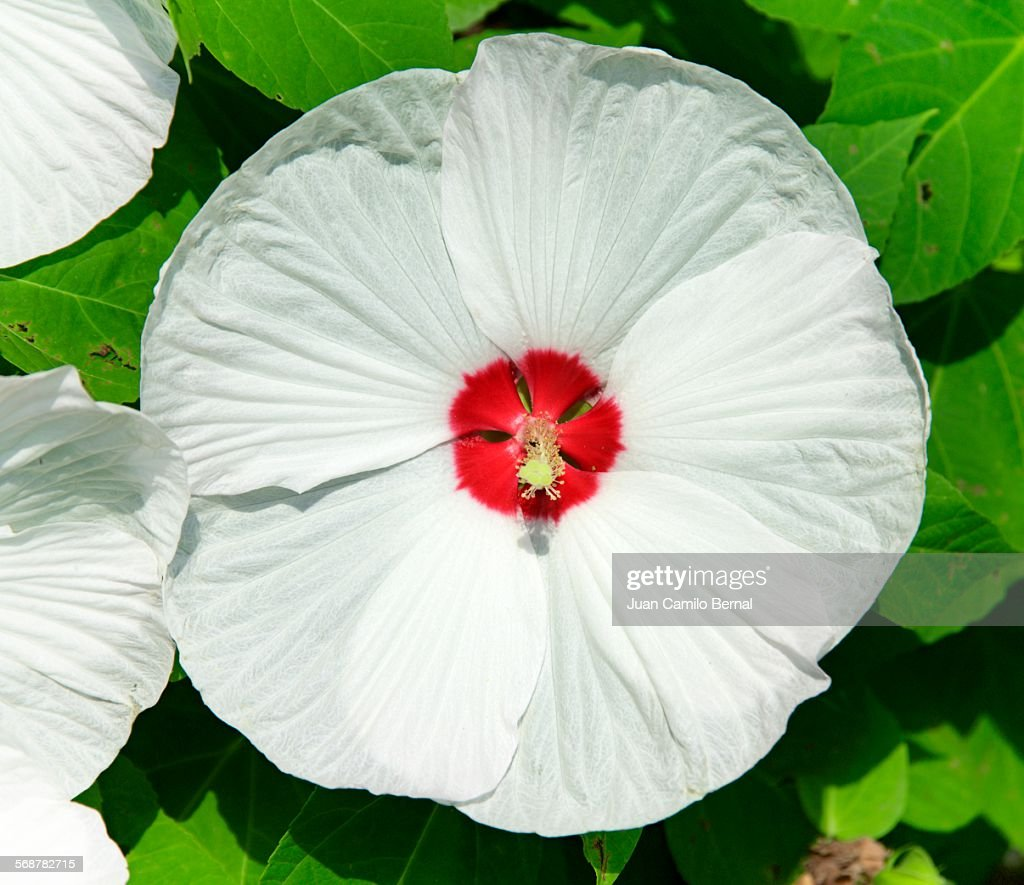 Big white flower : Stock Photo