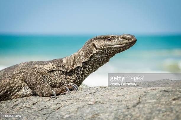 big wild varan on stones near the ocean - 爬虫類 ストックフォトと画像