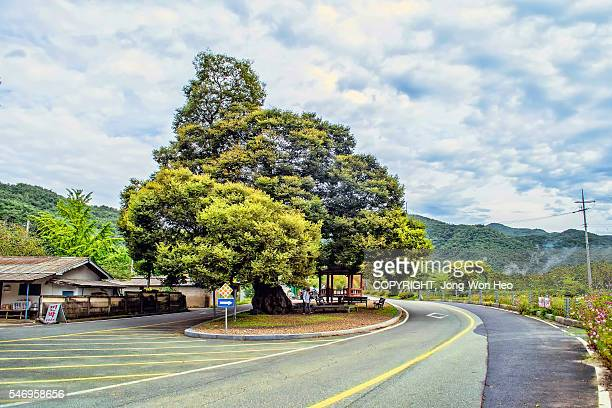 A big zelkova tree in the middle of the rural road
