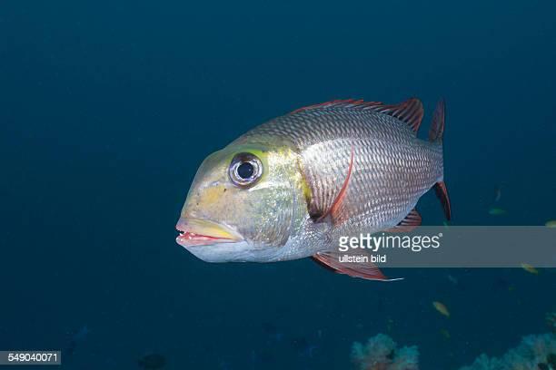 Bigeye Emperor Monotaxis grandoculis Himendhoo Thila North Ari Atoll Maldives