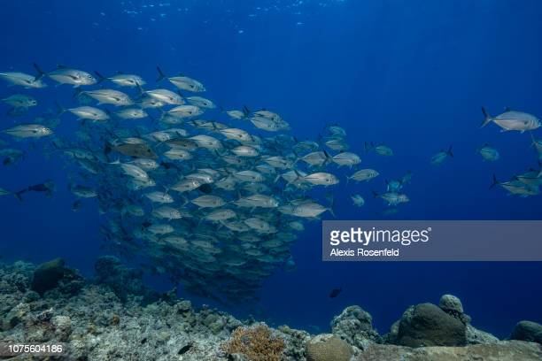 Bigeye trevallies Caranx sexfasciatus forming a large school in open water, on April 24, 2018 in Tubbataha, Philippines. In the heart of the Sulu...