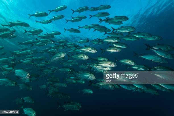 bigeye trevallies caranx sexfasciatus, slow-moving school at outer reef between moluccas and west papua, indonesia - mackerel stock pictures, royalty-free photos & images