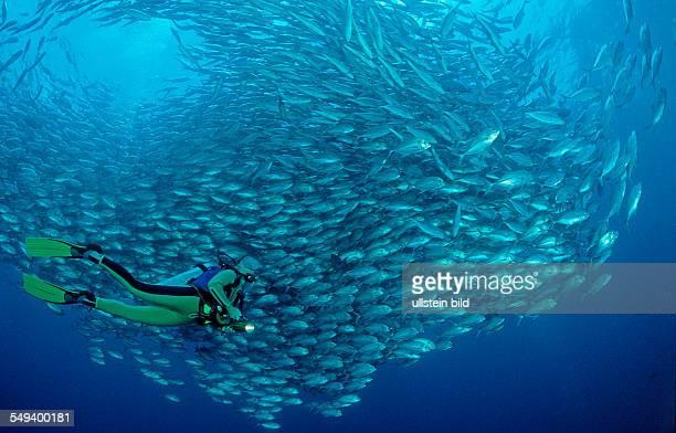 Bigeye trevally and scuba diver Caranx sexfasciatus Seychelles Indian ocean