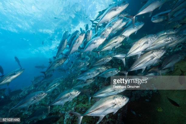 bigeye trevally school (caranx sexfasciatus) - jack fish stock pictures, royalty-free photos & images