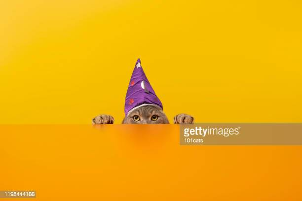 big-eyed cat behind the desk with wizards/sorcerer's hat .grey color british sort hair cat. - cat with red hat stock pictures, royalty-free photos & images