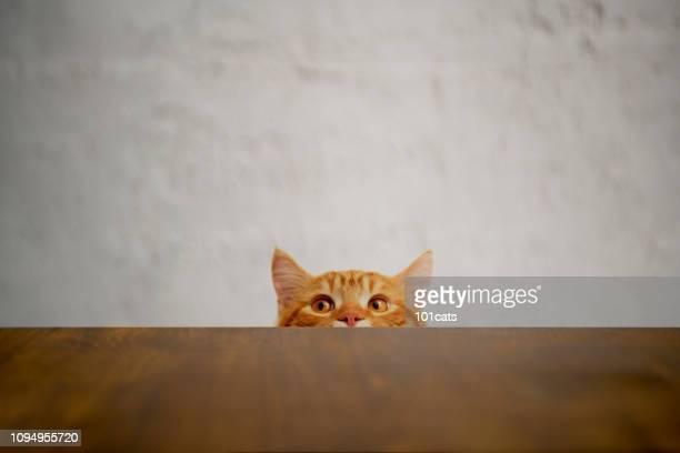 めばちいたずら猫のターゲットを見ています。イギリス種髪猫。 - 飼い猫 ストックフォトと画像